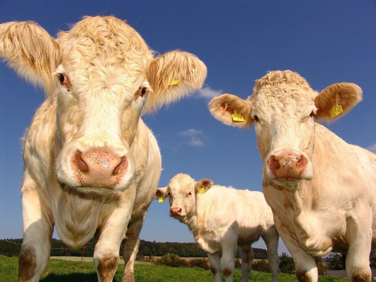 vacas sin copyright